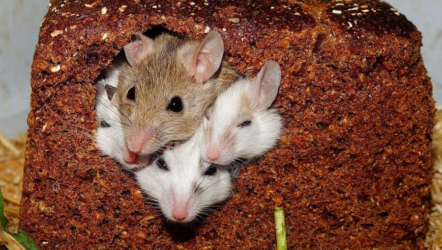 raising mice for money