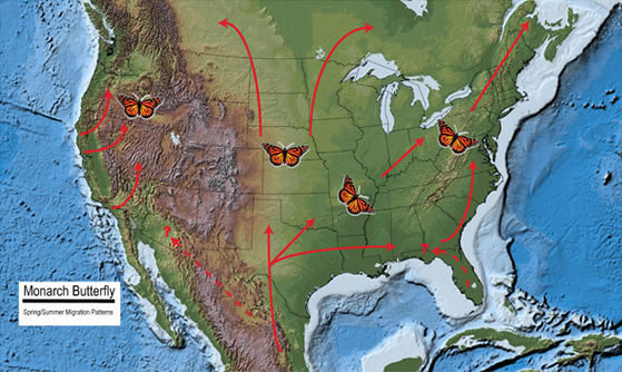spring migration map of Monarch Butterflies (1)