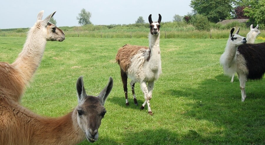 Alpacas and llamas can protect chickens