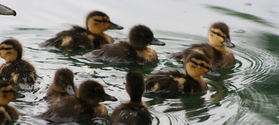 Baby ducks should be watched while swimming for safety