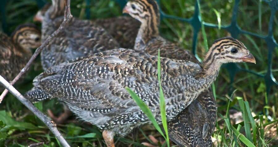 Baby guinea fowl keets