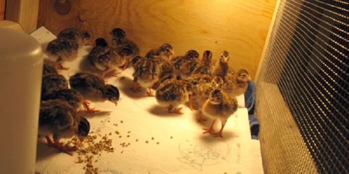 Guinea Fowl Baby keets