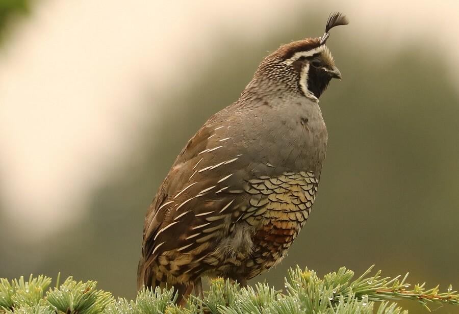 California Quail are the state bird