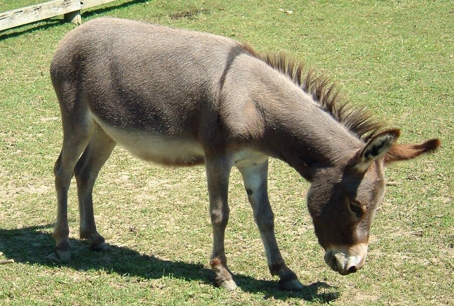 Donkeys can guard chickens