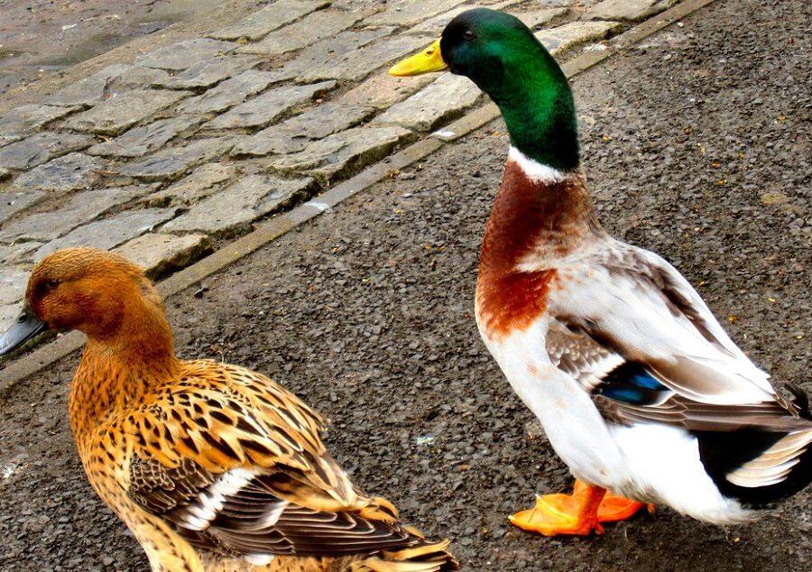 Ducks are vulnerable to predators