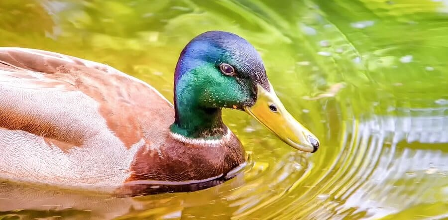 Ducks need water to be healthy