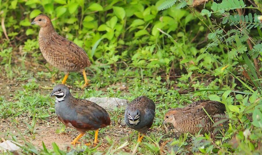 Free range quail need special care