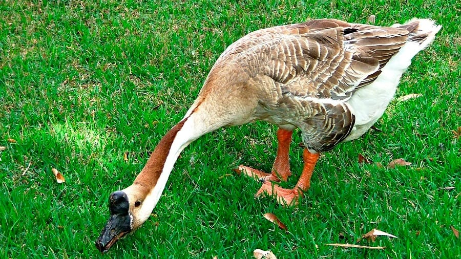 Geese have been used to guard chickens