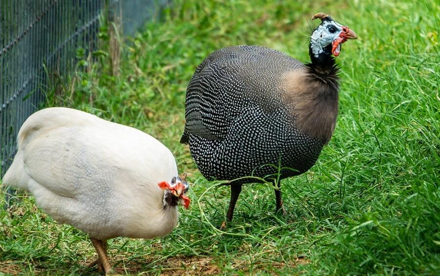 Helmate Guinea Fowl