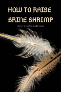 How to raise brine shrimp (1)