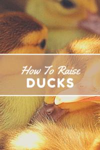 How to raise ducks (1)