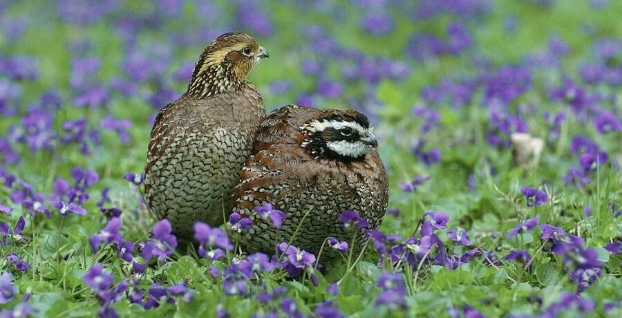 How to raise quail