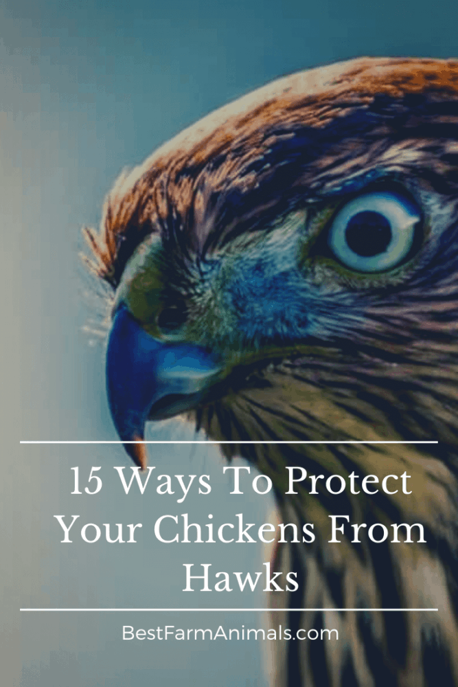 Keep chickens safe from birds of prey