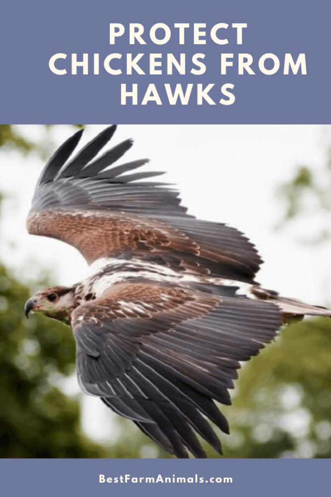 Keep chickens safe from hawks