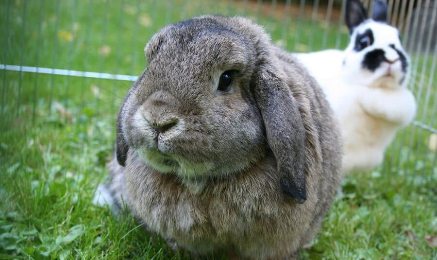 Lops are popular for show rabbits