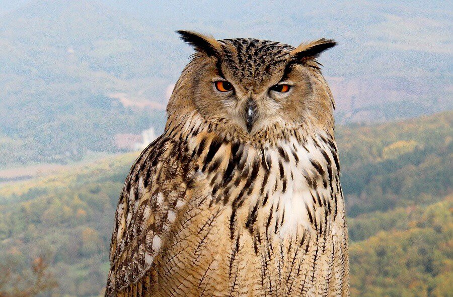 Owls-can-kill-chickens-at-dusk-1