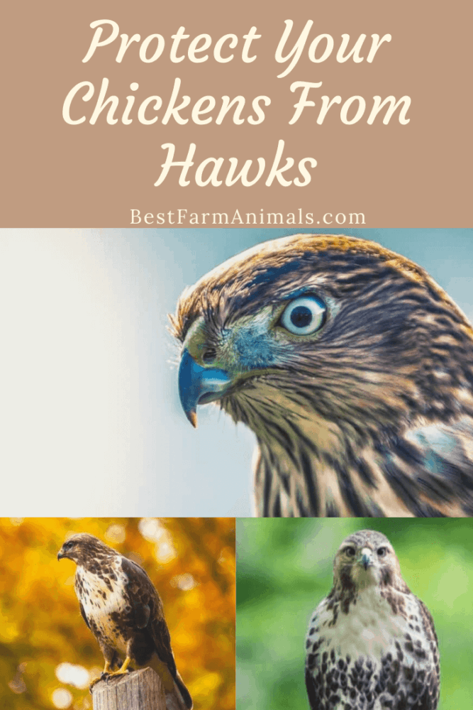Protect your chickens from hawks