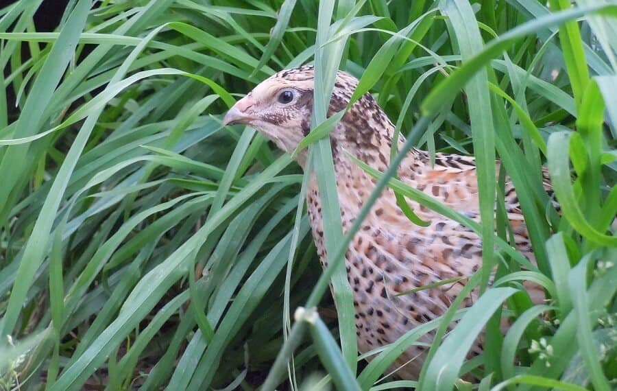 Quail are often released into the wild for hunting