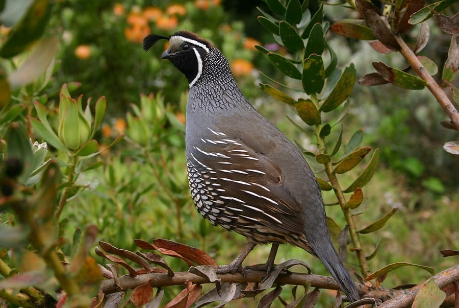 Quail are raised for eggs and meat