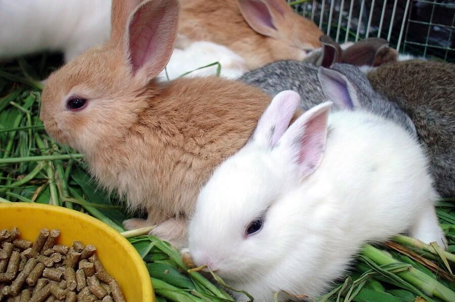 Rabbits eat greens or pellets