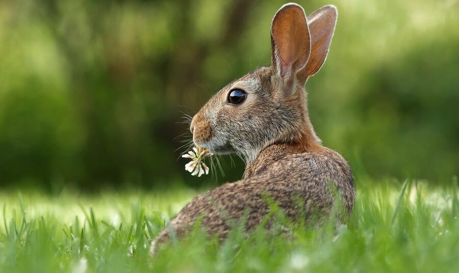 Rabbits love clover