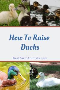 Raising healthy ducks (1)