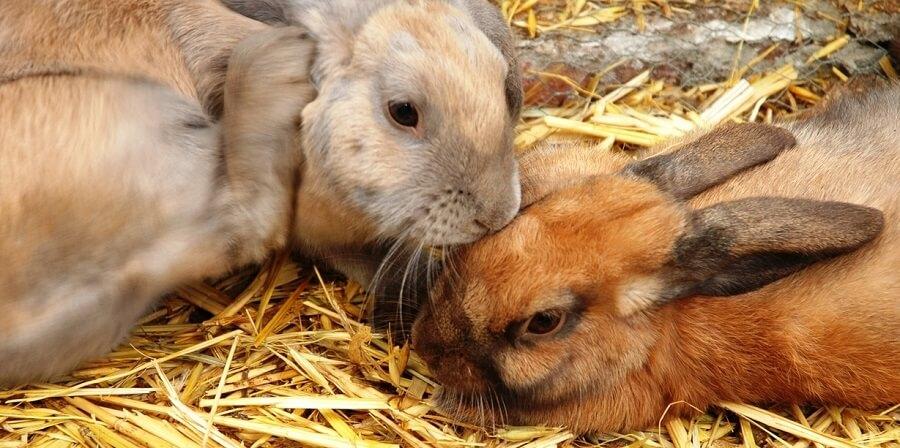 Straw is a popular rabbit bedding