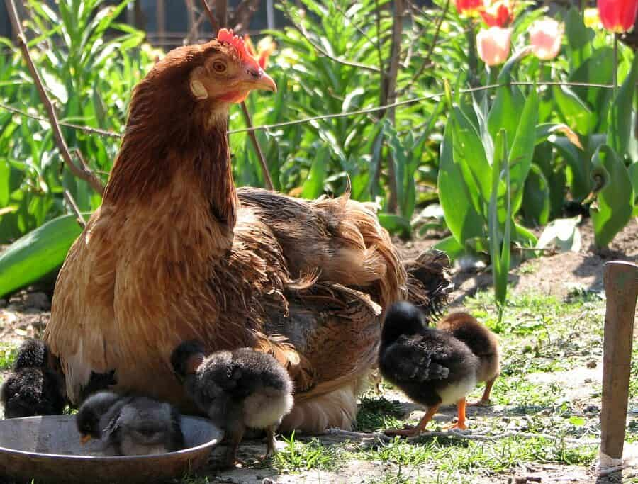 The best guard animal to protect chickens