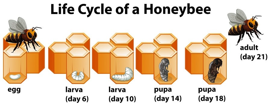 The life cycle of bees infographic for kids