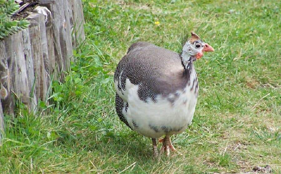 African guinea fowl