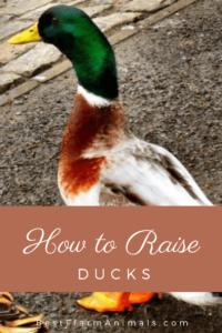 guide to raising ducks (1)