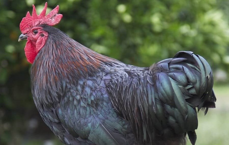 15 Best Dual Purpose Chickens That Lay Well Fatten Nicely