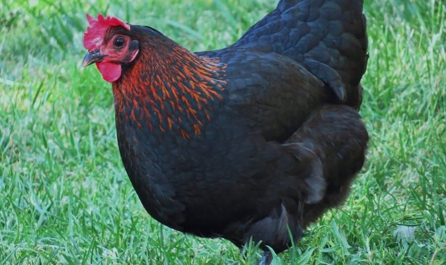 Black Star Chicken are good hybrid egg and meat chickens