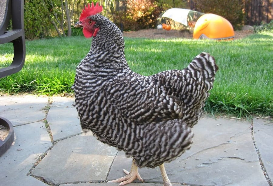 Plymouth Rock chickens are great for both eggs and meat