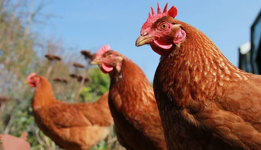 Ranger Chickens are popular meat chickens