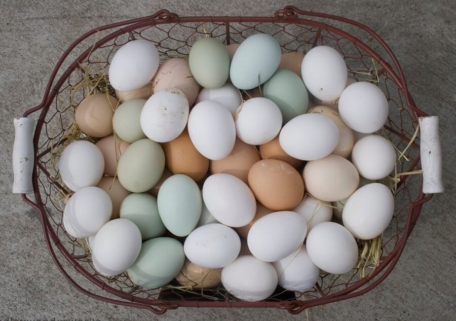 7 Superstar Chicken Breeds That Lay Over 300 Eggs A Year