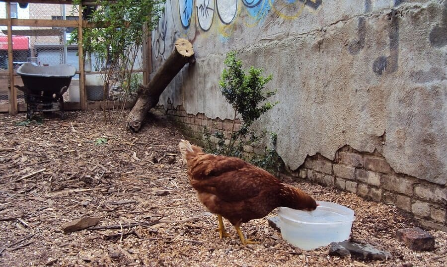 Best chickens for city life