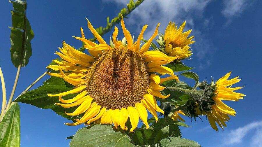 Chickens love sunflowers (1)