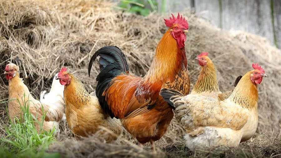 How to keep chickens cool during heat waves