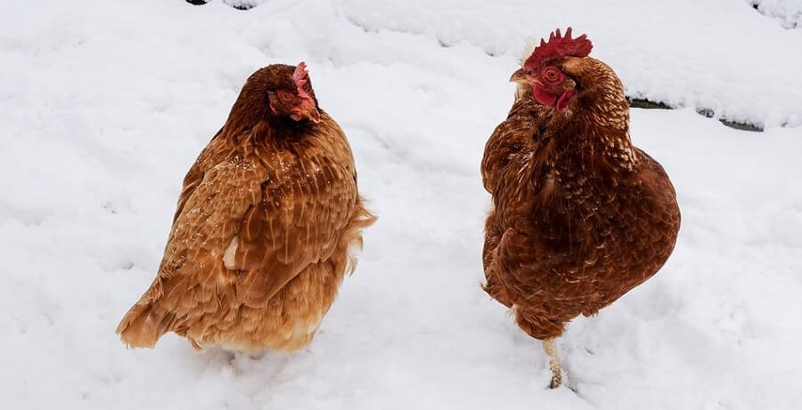 How to keep chickens water unfrozen off grid