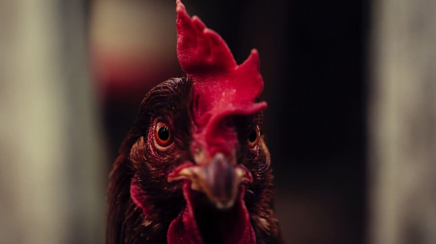 How to reform a bully chicken