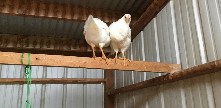 Isolate bully chickens to stop bullying
