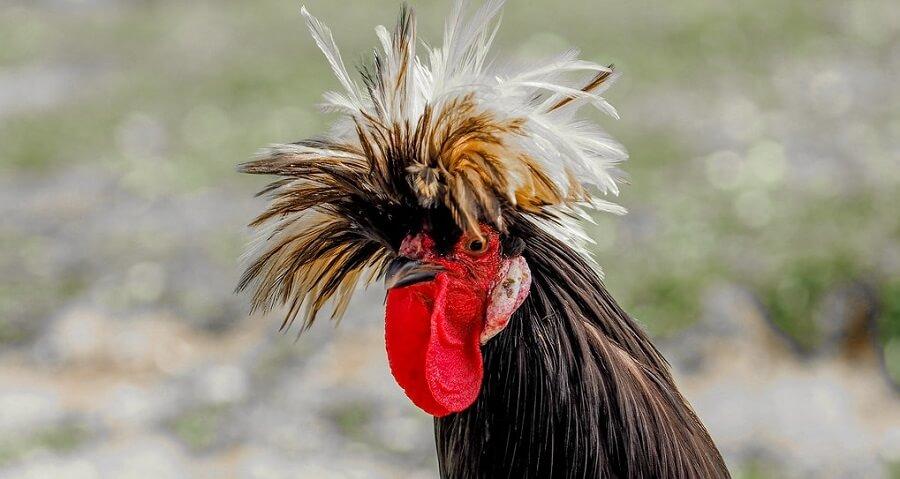 Polish Chicken are beautiful