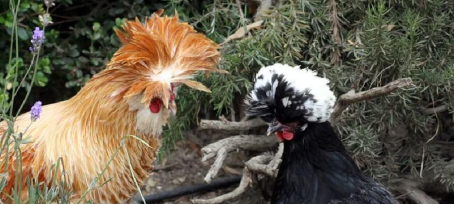 Polish Chickens are entertaining