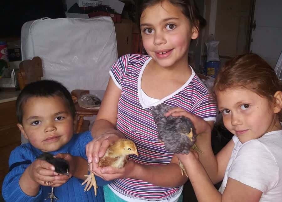 best chickens as pets