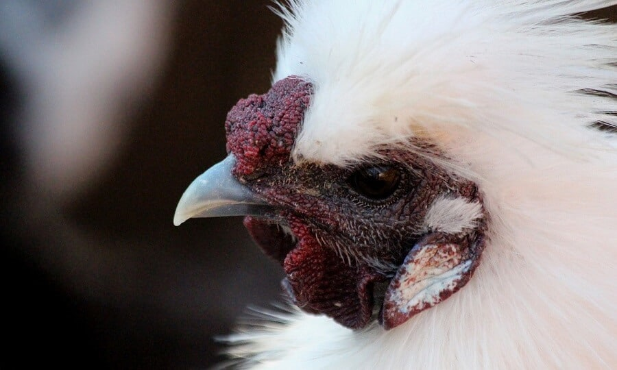 silkie chicken have beautiful faces