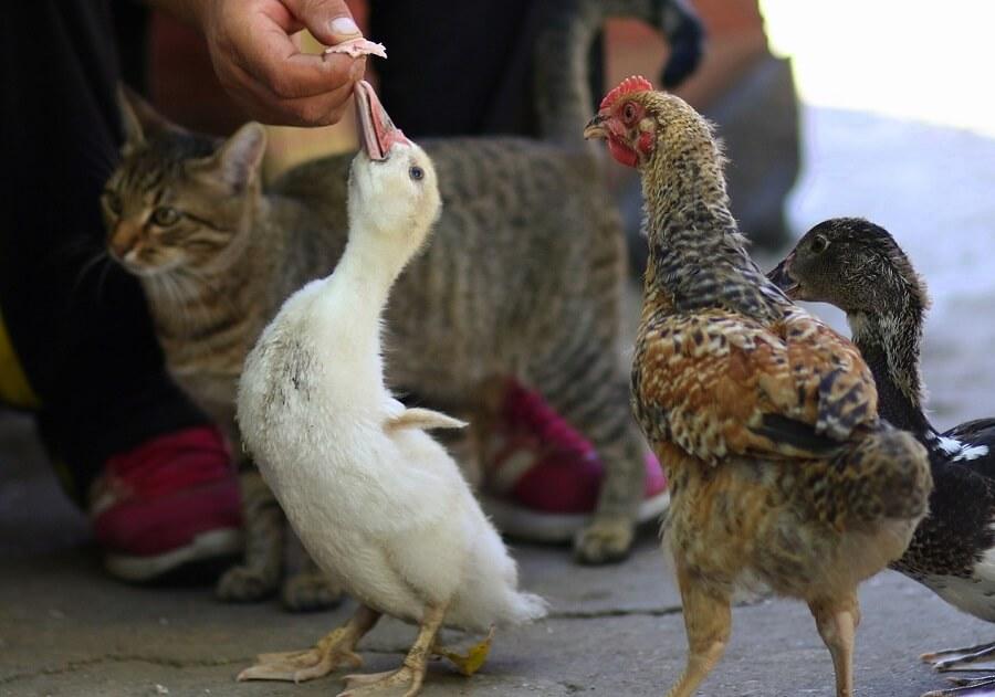 Best chicken and duck supplies (1)