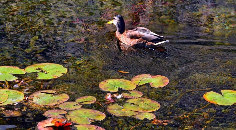Ponds can provide a great food source for chickens