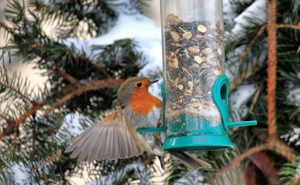 How to attract robins to your garden (1)