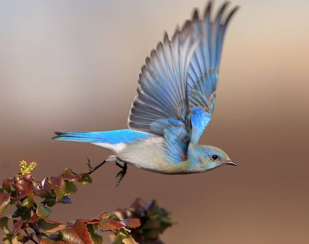 How to bring bluebirds to your yard (1)